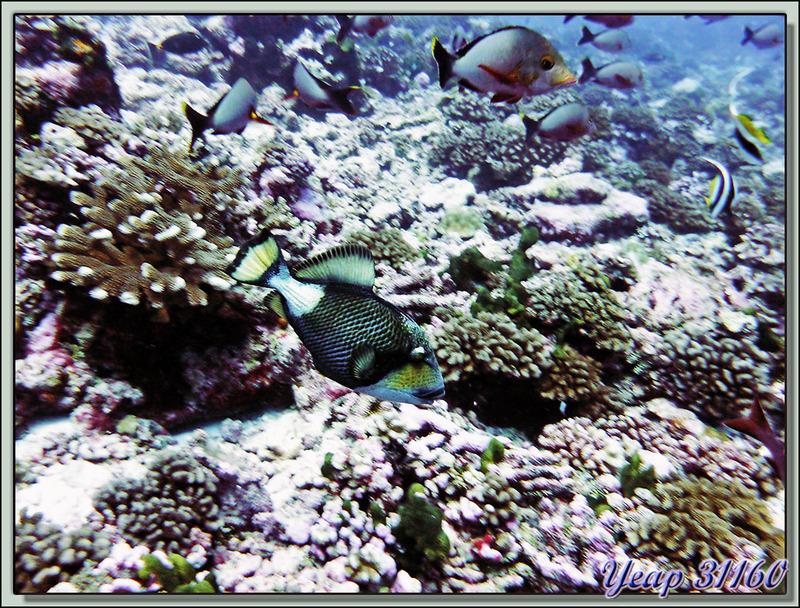 Baliste titan (Balistoides viridescens) - Passe d'Avatoru - Atoll de Rangiroa - Tuamotu - Polynésie française