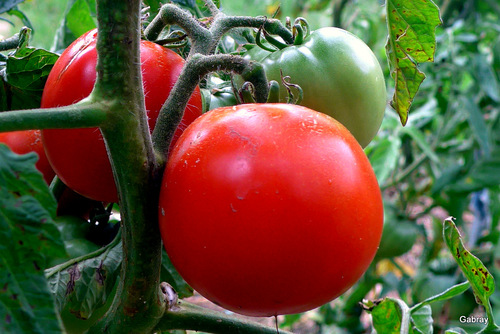 Les tomates de mon jardin !