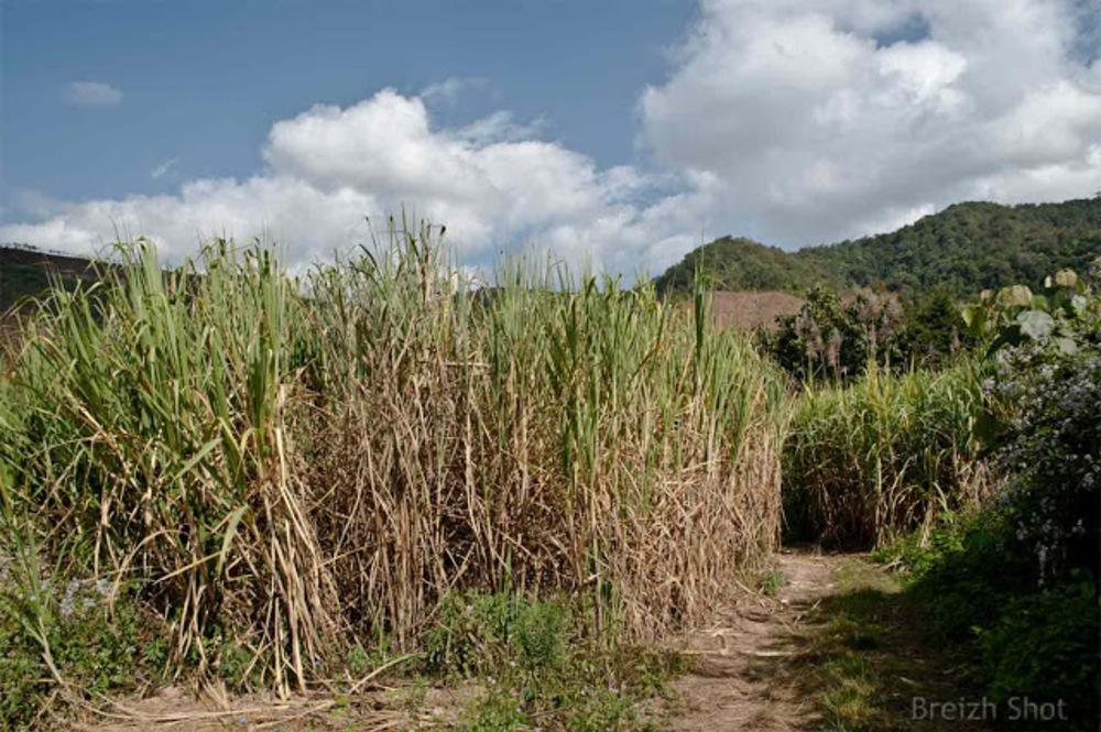 Canne à sucre : Laos