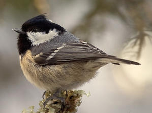 Parus-ater-cropped-1-.jpg