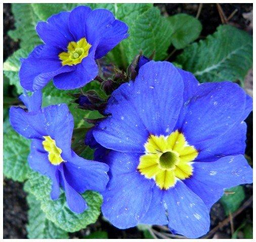 primeveres-bleues-2012.jpg
