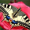 Papilio machaon (Le grand porte-queue).jpg