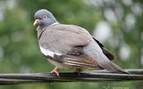 Pigeon ramier - p38