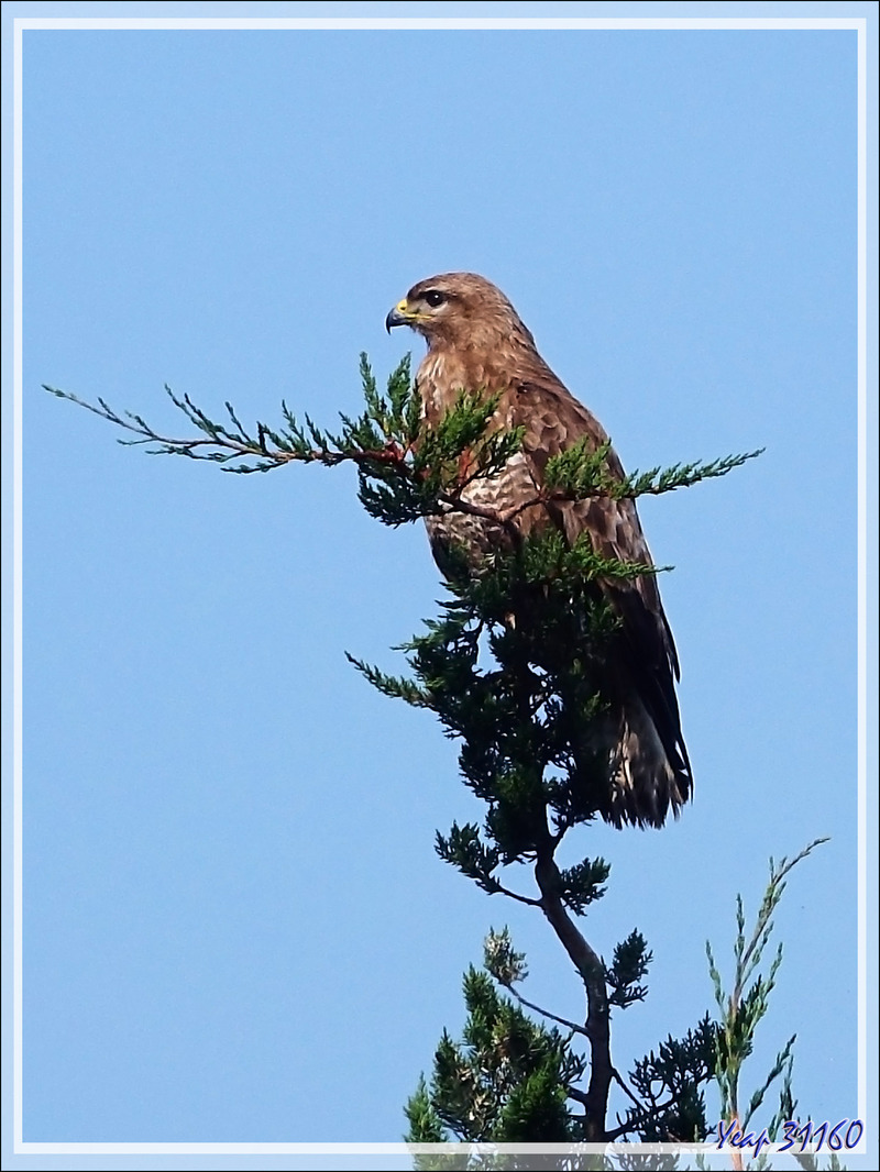 Buse variable, Common Buzzard (Buteo buteo) - Les Portes-en-Ré - Ile de Ré - 17