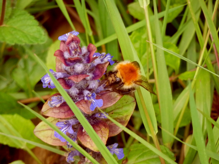 Abeilles et fleurs.Images gratuites.