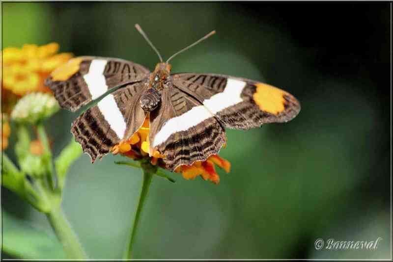Papillons Tropicaux Adelpha fessonia Saturniidae