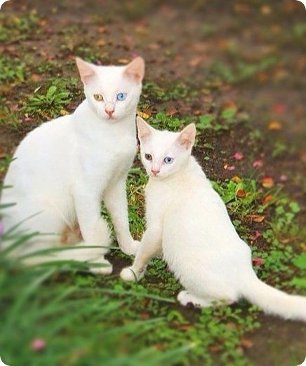 chat et chaton blanc copies conformes