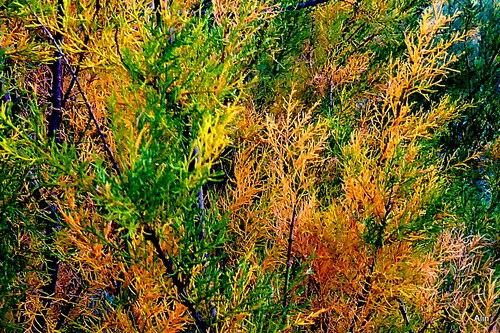 Les tamaris en automne ...