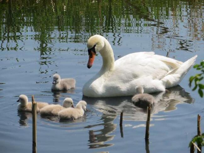 des photos magnifiques sur des cygnes la maman et ces petits,cent pour cent nature