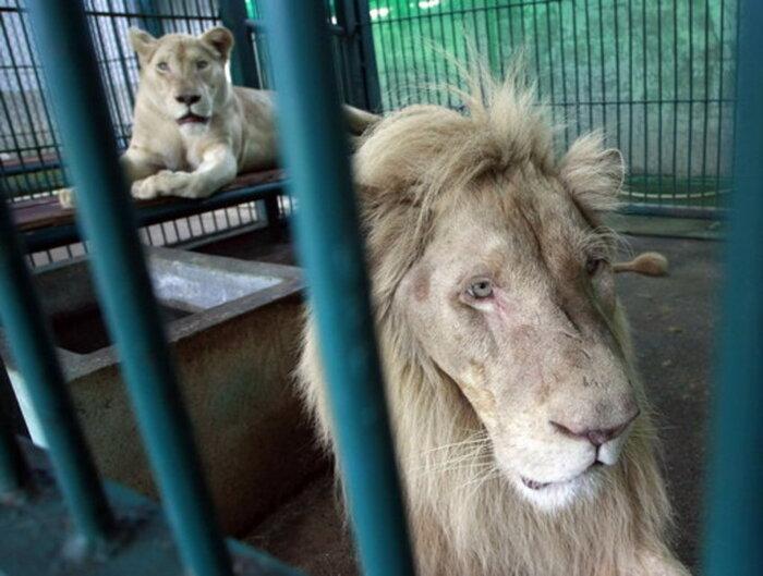 Quatorze lions blancs trouvés dans une maison