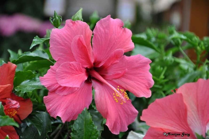 Floraison 0207-hibiscus-rose