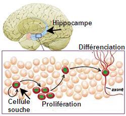 De jeunes neurones sont créés chaque jour dans l'hippocampe.