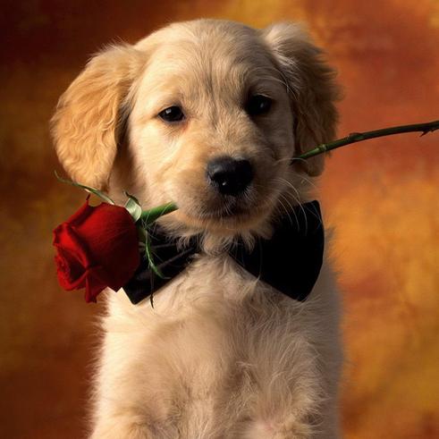 bébé Golden Retriever avec une rose
