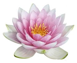 Fleur Lotus le lotus - lunantique