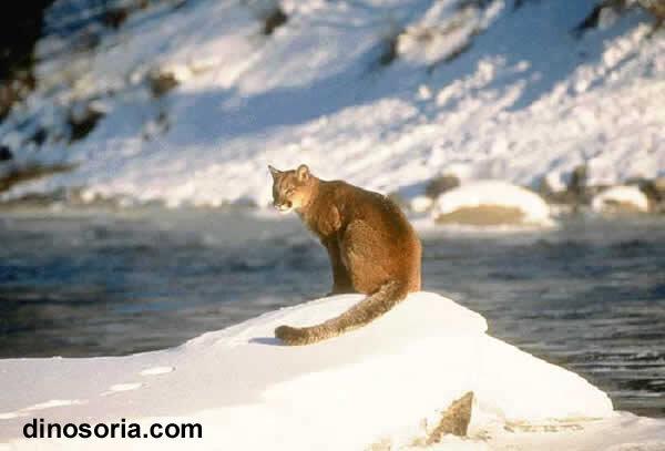 Puma. Puma concolor
