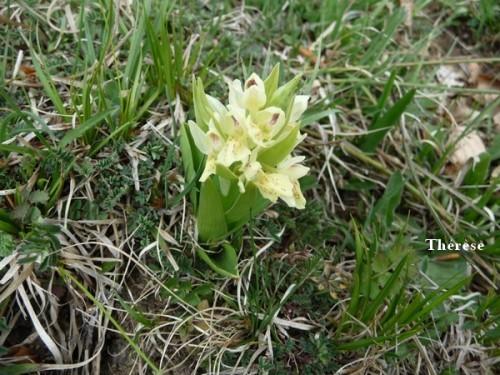 Orchis sureau (9)