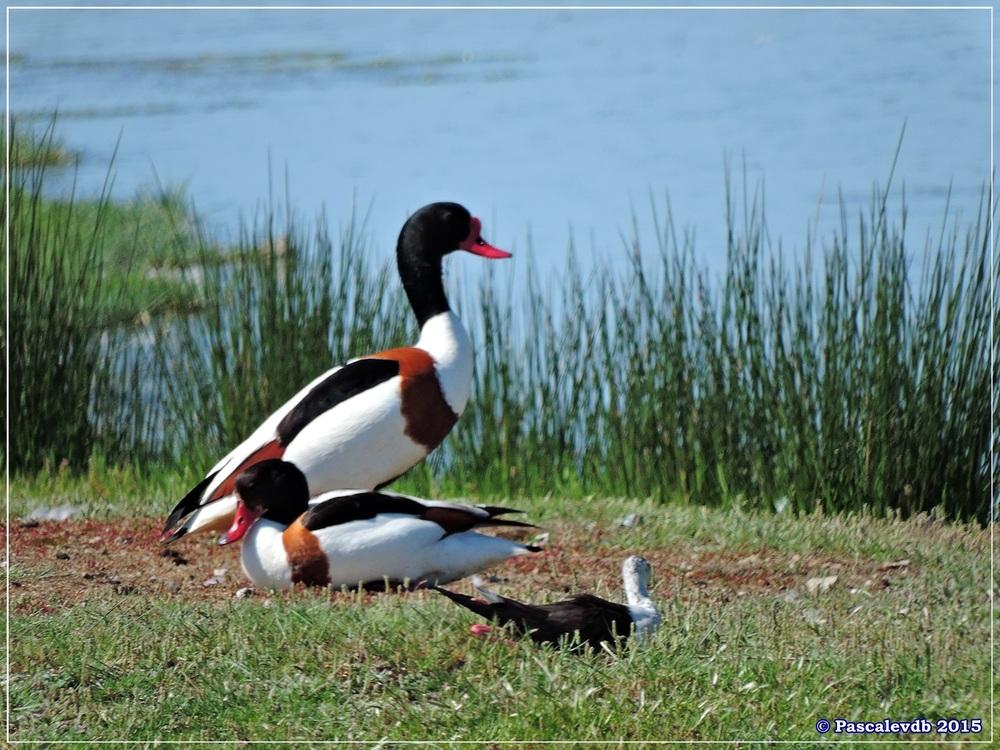 Printemps 2015 à la réserve ornitho du Teich - 10/13
