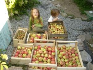 recolte-de-pommes-2010
