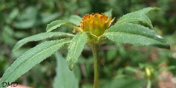 Bidens frondosa - bident feuillu