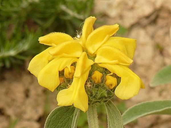 Phlomis Fruticosa-Sauge de Jérusalem