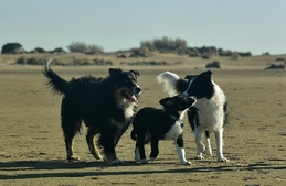 Gampo (Berger Australien ♂) et Loo (Border Collie ♂) - 2017/1