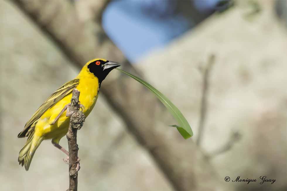 Tisserin à tête rousse et son nid: trois photos