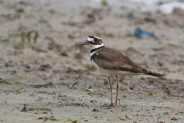 Killdeer - Colorado Lagoon Park