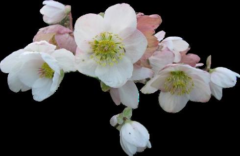 défi janvier-février 2013 : roses de noel et l'enfance