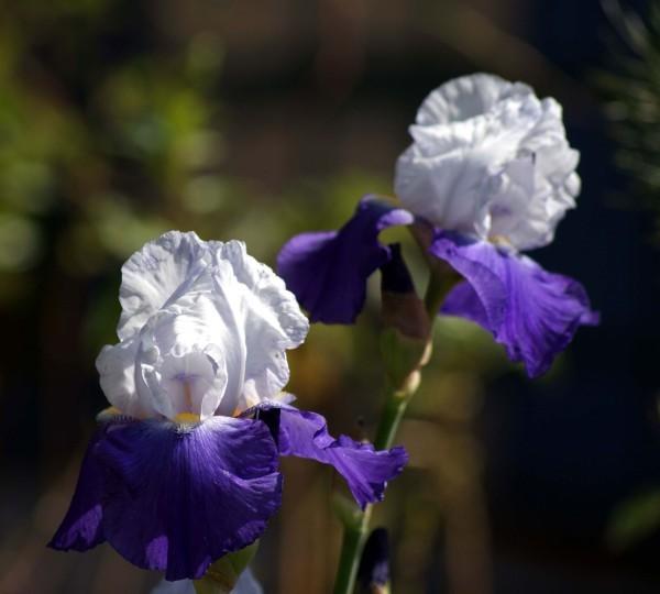 Iris Jacquie 3367