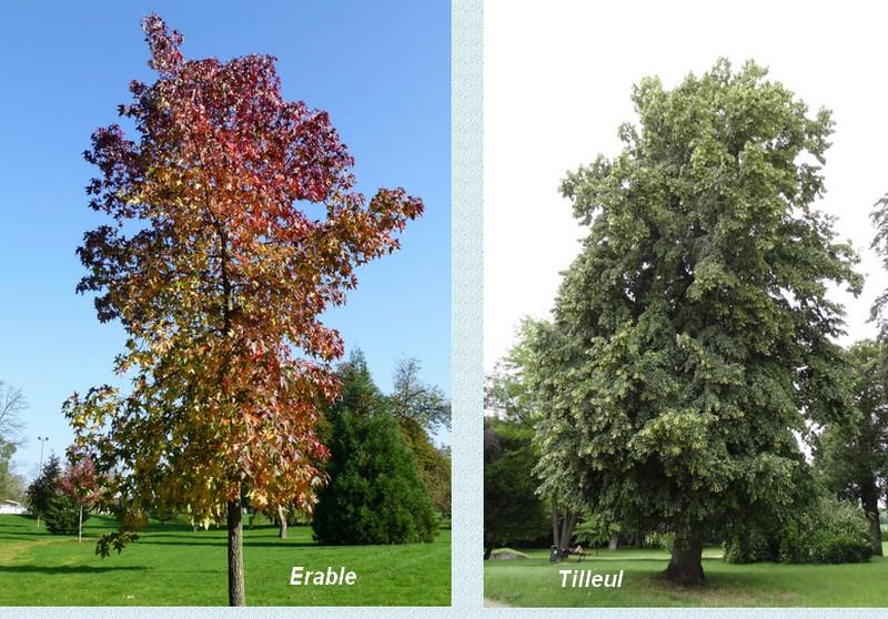 L'arbre qui ne veut pas mourir…