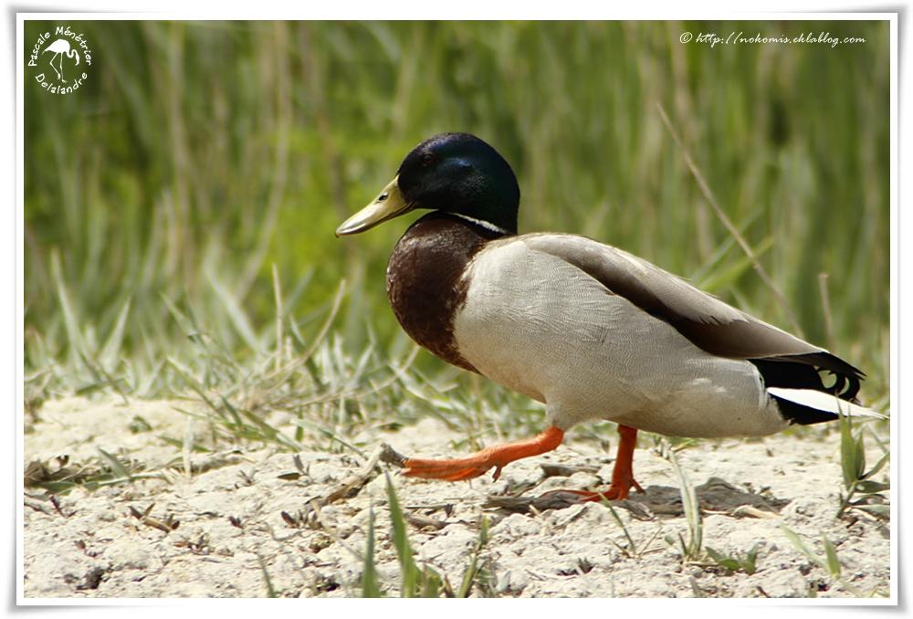 Canard colvert - Anas platyrhynchos - Mallard (Ansériformes)