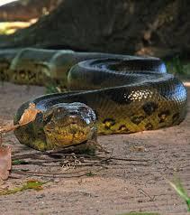 Un anaconda géant !