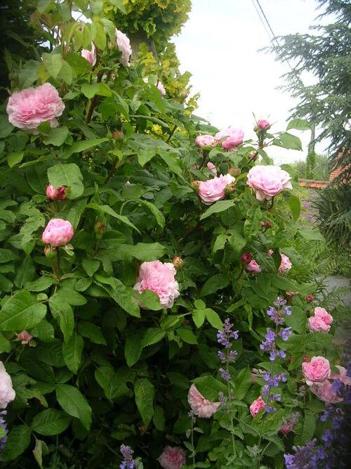 Un rosier coup de coeur: Le beau Jacques