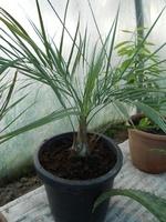 butia catarinensis 1