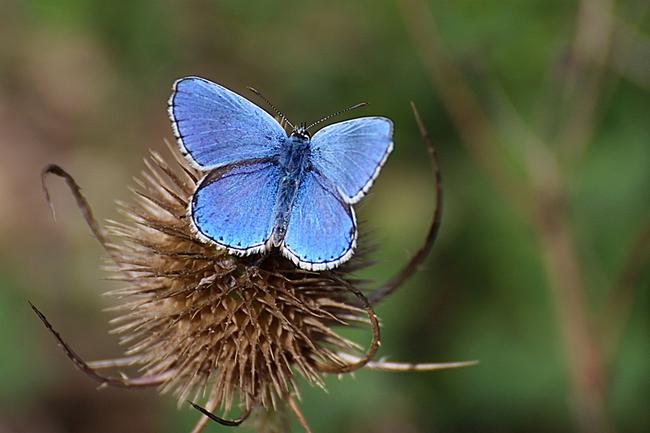 Azuré bleu céleste ou Bel argus