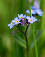 Fleurs bleues violettes