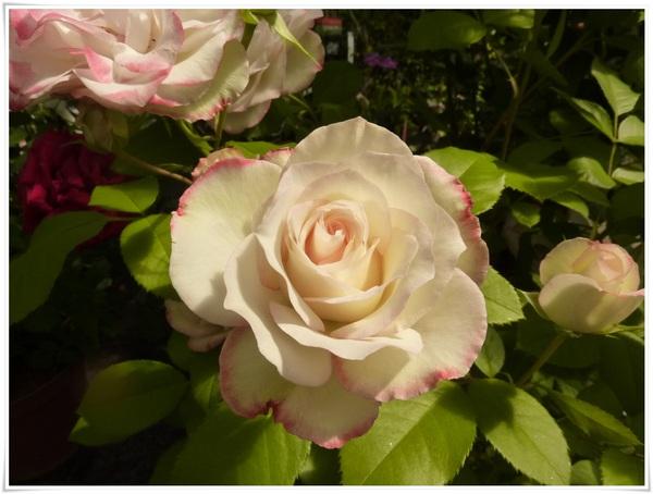 Quelques roses