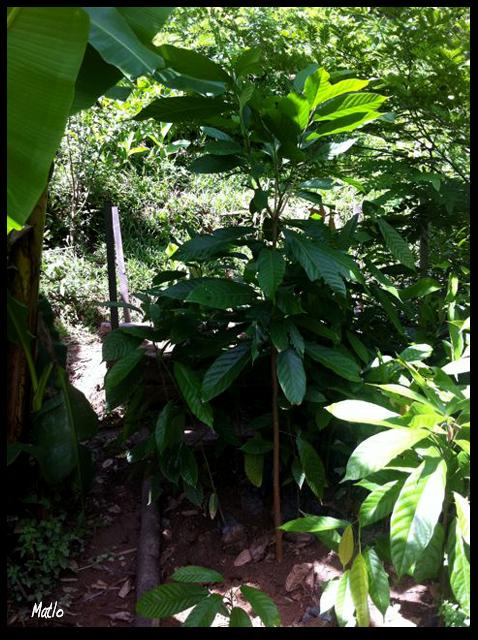 Suivis des premières plantations à Sarahandrano