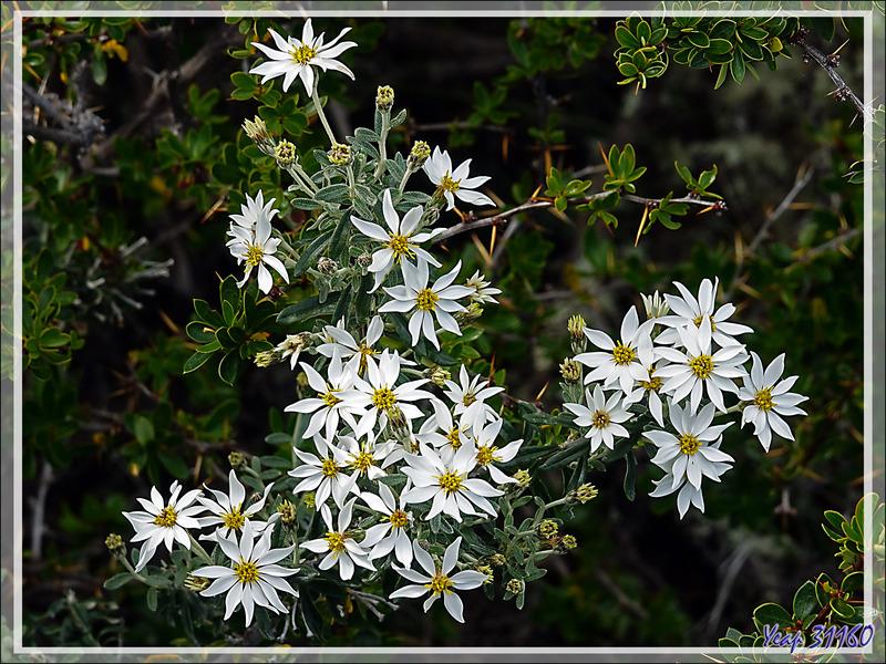 Mata Negra Fuegina, Fashine (Chiliotrichum diffusum ou rosmarinifolium) - Peninsula de Magallanes - Patagonie - Argentine