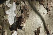 Grimpereau des jardns
