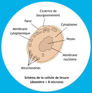 schema cellule