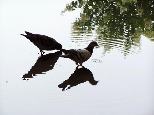 Les oiseaux de l'Arc Héré à Nancy 8 mp1357 2011