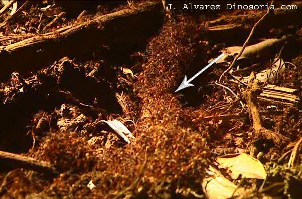Horde de fourmis légionnaires