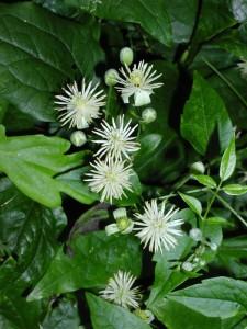 clématite-vigne-blanche(02)