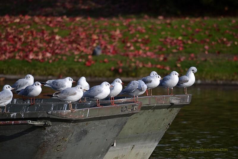 Mouettes rieuses au lac Daumesnil