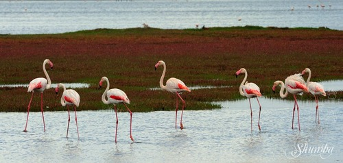 Flamingos and Pelicans