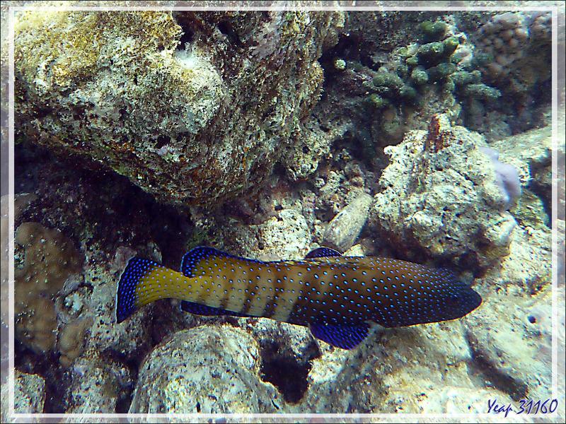 Snorkeling : Mérou paon ou céleste, Vieille cuisinière, Bluespotted grouper (Cephalopholis argus) - Moofushi - Atoll d'Ari - Maldives