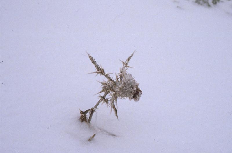 chardon dans la neige