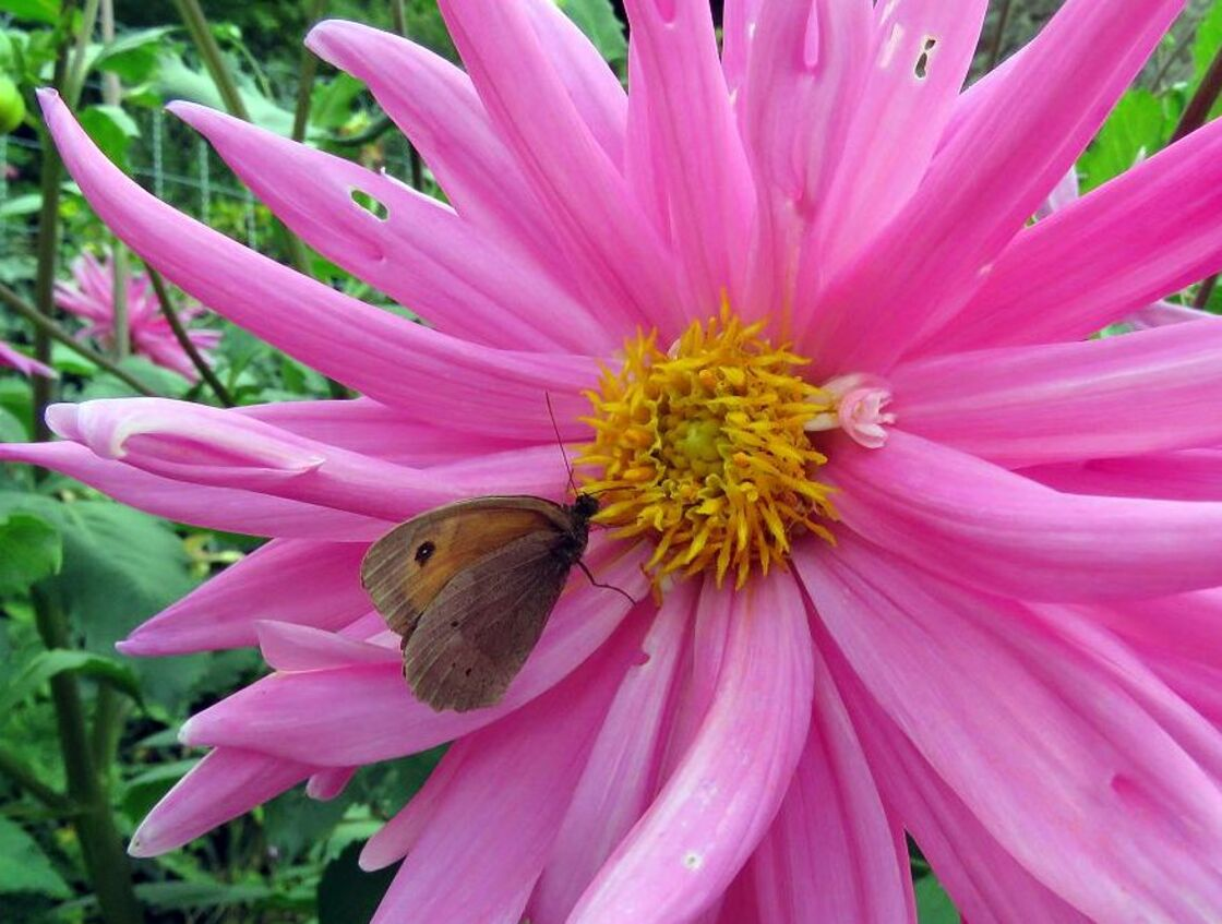 un papillon sur un dahlias