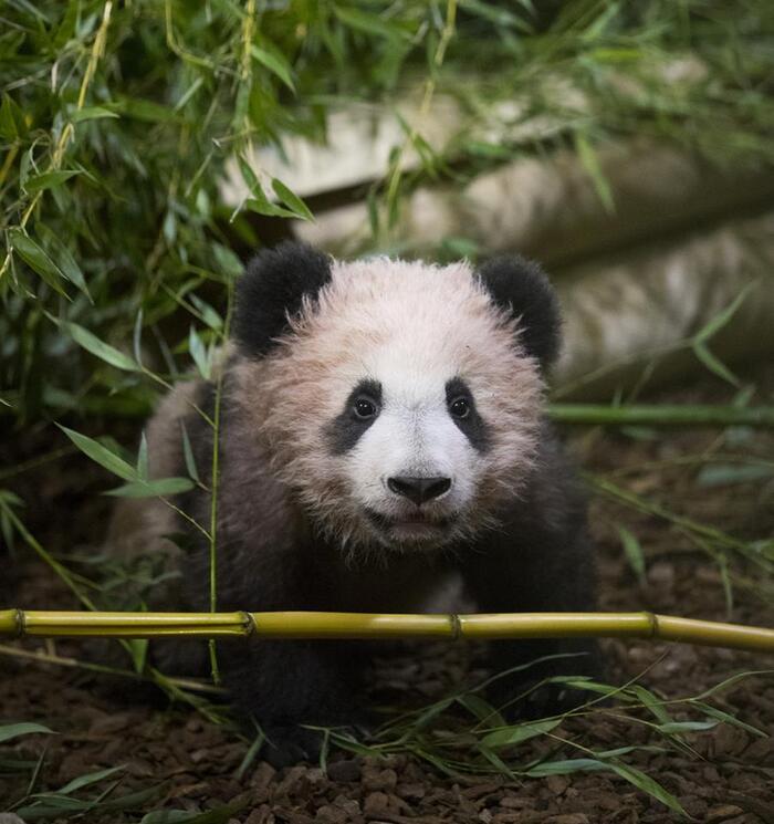 Spécial sortie de bébé panda ce jour à Beauval - c'est mon chouchou